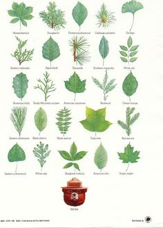 """15 of Smokey Bear's Best Nature Posters Smokey Bear's Tree Leaves - """"Think"""". This poster is an illustrated compilation of common North American tree leaves. Brought to you by your State Forester and the United States Forest Service. Plant Science, Science And Nature, Tree Leaf Identification, Smokey The Bears, Nature Posters, Forest Service, Tree Leaves, Tree Tree, Nature Center"""