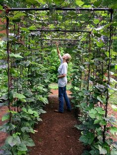 a bean tunnel using metal mesh and poles (rebar?) by April of Wahsega Valley Farm
