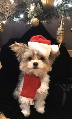 Parti Yorkie Yorkshire terrier Rylee Santa hat Christmas tree