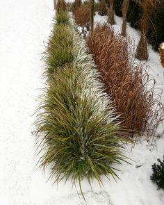 Carex Ice Dance. Garden Polinka.