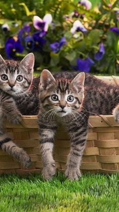 """* * BROWN TABBY: """" Waitz one red hot minute! I yam not gettin' outta dis basket if dat's Vinny-Too-Bad's gang ! """" OTHER KITTEN: """" Me thinks it is. Duck and cover ! """""""