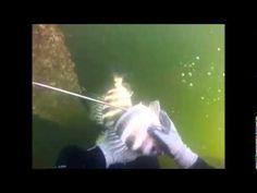 Scuba Steve spearfishing in Tampa Bay. - http://www.florida-scubadiving.com/florida-scuba-diving/scuba-steve-spearfishing-in-tampa-bay/