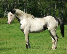 black overo paint horse stallion