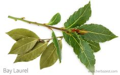 Bay laurel is a common spice in many Mediterranean dishes, but its long medicinal history is often forgotten. Discover its many hidden uses and more. Common Spices, Herbs For Health, Mediterranean Dishes, Herbalism, Plant Leaves, Medicine, Garden, Plants, Garten