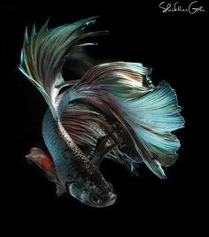 Glamour by shikhei Betta Fish Types, Beta Fish, Siamese Fighting Fish, Water Animals, Angel Fish, Beautiful Fish, Exotic Fish, Colorful Fish, Underwater Photography
