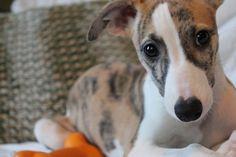 Aurelia - my Whippet puppy