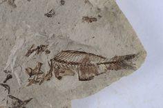 Serranus, Oligocene, Menilite Beds, Carpathian Mountains, Poland; Size: Fossil fish is 4,4 cm in lenght; Photo © Albin48