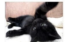 Cute Black Cats And Kittens I Love Cats, Cute Cats, Funny Cats, Adorable Animals, Kittens And Puppies, Cats And Kittens, Kitty Cats, Ragdoll Kittens, Crazy Cat Lady
