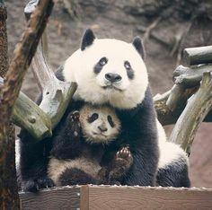 Mommy Bai Yun and son, Xiao Liwu @ San Diego Zoo