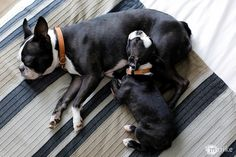 Deloris + Penelope, Boston Terriers.