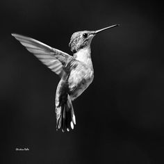 Hummingbird Wings Up Square Bw by Christina Rollo © www.rollosphotos.com.