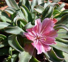 "Photo of Lewisia longipetala 'Plum' flower courtesy of: Cactus Jungle   perennial, cactus / succulent 4"" - 6"" tall Zones 4a-8b"