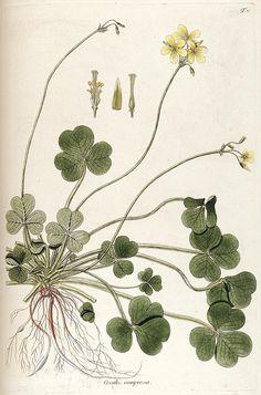 jomobimo:    Plate 37, Fragmenta botanica, figuris coloratis illustrata. Vienna, 1809.