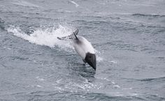 Commerson's dolphin. - Commerson's dolphin swimming off the Falkland Islands.