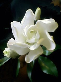 Gardenia.  There is a Spanish song that  references this flower.  The lyrics go something like this: The perfume of gardenias is in your mouth and beautiful rays of light emanate from your eyes. (I believe something got lost in the translation.)