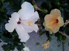 Ibiscus coltivazione e cure Ibisco o HIbiscus pianta esotica Fiori per Karkadè utilzzata nei giardini per siepi fiorite e in vaso per abbellire le terrazze moltiplicazione potatura consigli contro parassiti e malattie rinvaso cimatura ed usi