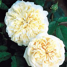 Sombreuil Climbing - David Austin Roses I have these climbing over the arch to my garden and they bloom well into Fall in zone 7