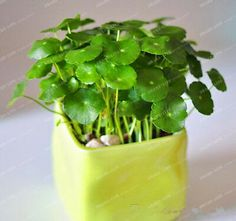 100 Water Plants Seeds Raw Culture Horseshoe Gold Coins Grass Species Four Seasons Germinate Easily Potted Hydrocotyle Vulgaris Indoor Bonsai, Bonsai Plants, Planted Aquarium, Shade Tolerant Grass, Lotus Flower Seeds, Grass Species, Pots, Lucky Plant, Fruit Seeds