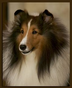 Shelties~  ~~~   ~Stoney~~I absolutely fell in love with this picture of this dog.  I think he is absolutely beautiful