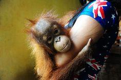 Baby orangutan rescued after being found alone in rubber plantation: goo. Baby Orangutan, Palm Oil, Jakarta, Globe, Speech Balloon