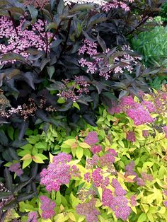 Plant spirea goldmound on hedge, good with purple foliage plus gives late summer flowering. Geraniums flowering midsummer.