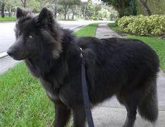 Black german sheperd mixed alaskan malamute