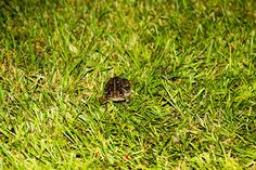 Little Toad was almost trampled.  We could hardly see him because it was dark when he came around to visit us.