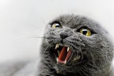 """""""Some people say man is the most dangerous animal on the planet.  Obviously, these people have never met an angry cat."""" --Lillian Johnson"""