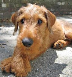 My new favorite kind of dog...the irish terrier (non-groomed or ears clipped just like Roger here).