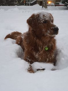 Golden retriever snow play time