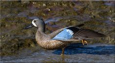 Male Blue Winged Teal, Bird, Animals, Birds, Animales, Animaux, Animal, Animais