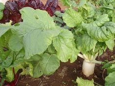 Хитрости выращивания хорошего урожая дайкона