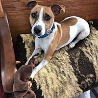 Available Pets At Nickel City Canine Rescue In Williamsville New York Jack Russell Terrier Dog Adoption Cat Adoption
