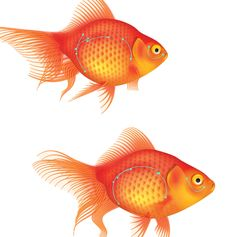 In this tutorial I'm going to show you how to create a couple of detailed goldfish using Adobe Illustrator. I'll be showing your how to create a simple scale effect