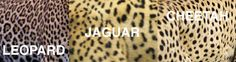 Spot the Differences Between Leopards, Jaguars, and Cheetahs