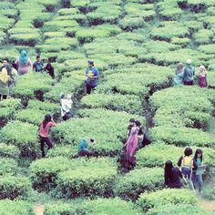 Plantacje herbaty zazwyczaj pokrywają wzgórza albo płaskowyż zapewniając widoki zatykające dech w piersiach. Ta herbaciana zieleń jest moją ulubioną zaraz po zieleni tropikalnego lasu. A zresztą każdego lasu. Próbując różnych sportów i rozrywek przekonałam się że jestem zwierzakiem leśnym tudzież lądowym i to wśród zieleni najbardziej odpoczywam i najlepiej mi się medytuje... A Ty jakim jesteś zwierzem? ;) Jakim byś nie była to wspominam teraz plantację herbaty z #cameronhighlands w #malezja…