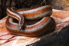 make a great pet Amphibians, Reptiles, Snake Information, Rosy Boa, Boa Constrictor, Beautiful Snakes, Lizards, Python, Noodle