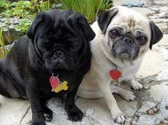 Perros raza Pug o Carlino
