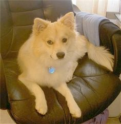 A Pomimo - Pomeranian/American Eskimo - just like my Dixie! Except she's cuter...