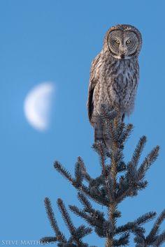 Great Gray Owl with Moon by Steve Mattheis http://www.earthshots.org