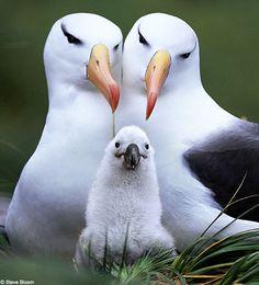 Laysan Albatrosses often raise chicks in female couples