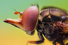 """Портреты насекомых. """"Мармеладная муха""""."""
