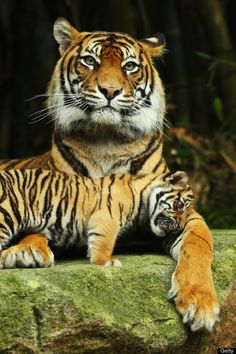 From Getty: SYDNEY, AUSTRALIA - OCTOBER 25: Sumatran tiger Jumilah is seen with one of her cubs on display at Taronga Zoo on October 25, 2011 in Sydney, Australia. (Photo by Mark Kolbe/Getty Images)