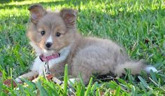 Ivy the Sheltie/AUSTRALIAN SHEPHERD MIX, TOO, TOO CUTE ~ SEE MORE PHOTOS ON THIS SITE ~