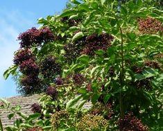 bez czarny Plants, Plant, Planets