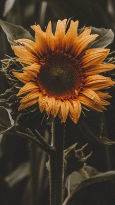 64 super Ideas for plants wallpaper iphone beautiful Sunflower Iphone Wallpaper, Flower Phone Wallpaper, Plant Wallpaper, Wallpaper Backgrounds, Spring Wallpaper, Iphone Wallpapers, Aesthetic Iphone Wallpaper, Aesthetic Wallpapers, Growing Sunflowers