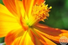 Cosmos sulphurous - read more: http://www.jarekrak.com/1/post/2013/06/first-post1.html