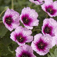 Geranium Thumbling Hearts - Parkers Wholesale -June, July, August, September and October bloom! Perennial Geranium, Cranesbill Geranium, Hardy Geranium, Beautiful Flowers Garden, Pretty Flowers, Colorful Flowers, Best Perennials, Hardy Perennials, Geranium Vivace