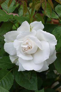 Hybrid Tea Rose: Rosa 'Annapurna' (France, 2000)