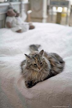 Lee Caroline - A World of Inspiration - Rare Norwegian Forest Cat
